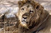 Killer Gir lions get life in zoo for 'murdering' three people in Gujarat