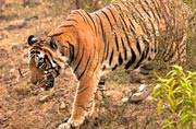 Jungle safaris in Sariska's buffer zone from next month!