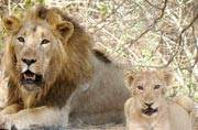 Good news! Soon you will be able to see more lions in Gir National Park