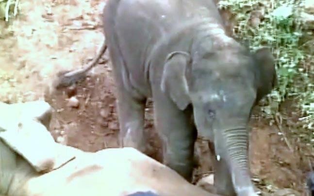 Baby elephant and dead mother