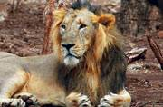 Gir lions may soon be shifted to Palpur Kuno Wildlife Sanctuary in Madhya Pradesh