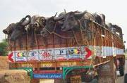 Govt move on cattle safety in doldrums, animal activists cry foul