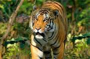 250-kg tiger missing: Maharashtra govt launches massive hunt, Rs 50,000 reward announced
