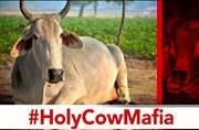 Exposed: India's holy cows end up in Bangladeshi abattoirs