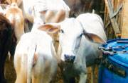 Animal Welfare board accused Modi govt of only politicising cow protection