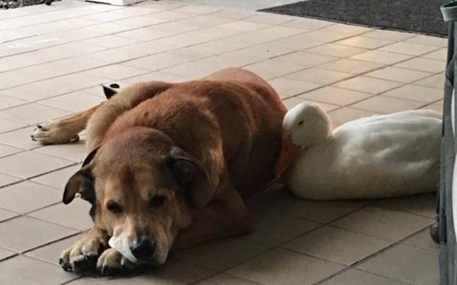 Duck cheers up heartbroken dog
