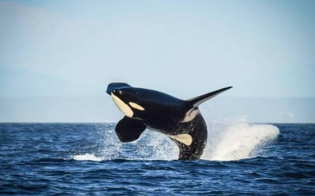 105-years-old Killer whale