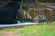 Farewell, Leo: Amazing 15-year friendship comes to an end as tiger and bear say goodbye to their lion 'brother'