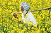 AAP up in arms against genetically-modified mustard, says an attack on Punjab's identity