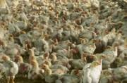 India declares itself free from bird flu: All about it