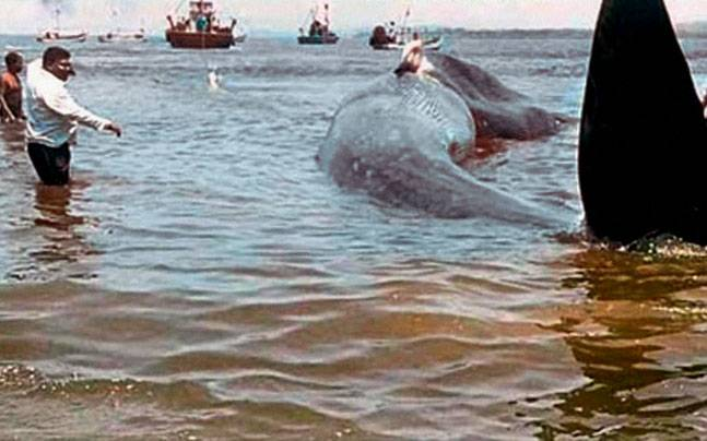The whale being rescued. (PTI photo)