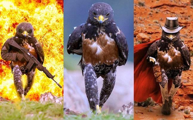 Jackal hawk walking