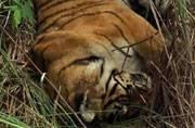 After harrowing 44-day hunt, man-eater tigress killed in Ramnagar