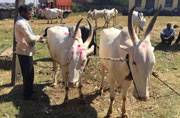 Karnataka: While demonetisation affects cattle sale, farmers tackle the problem and how!