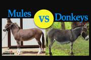 Donkeys vs mules: How are they different?