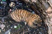 Ranthambore's tigress T-83 'Lightning' falls into well, rescued