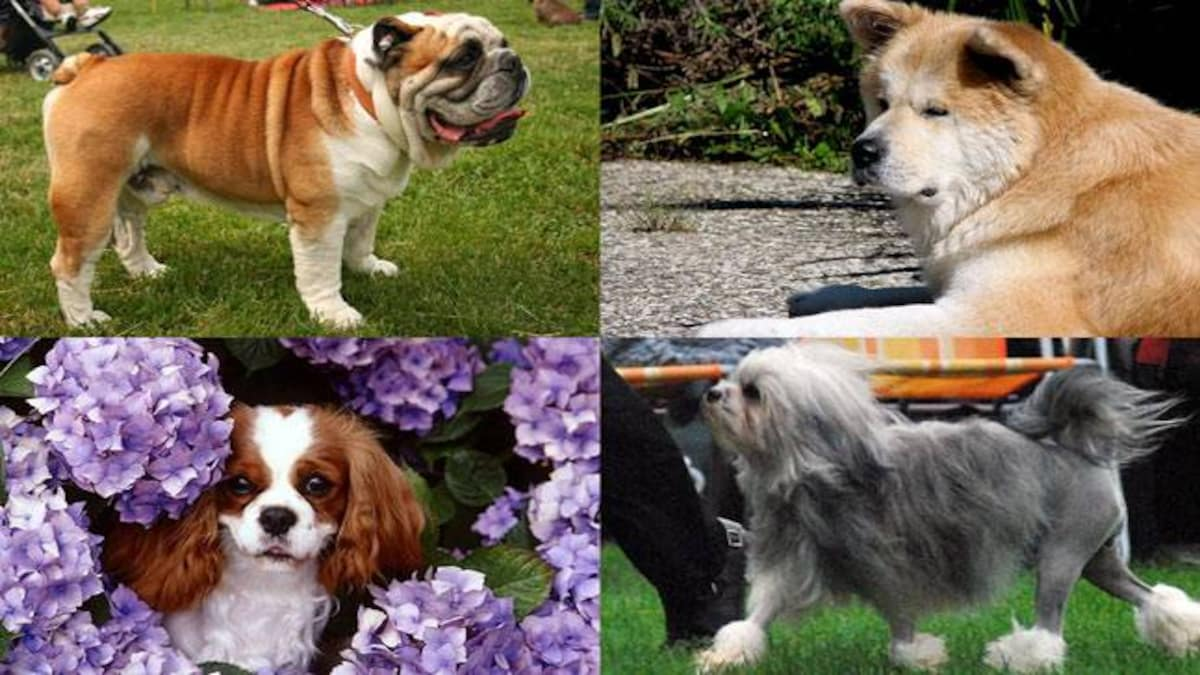 7 most expensive dog breeds across the world - Education