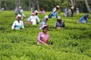 Demonetisation stirs the lives of tea garden workers, forced to eat flowers and leaves for survival