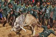 A participant in Jallikattu trying to tame a bull