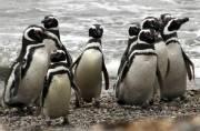 1 million penguins flock Argentine peninsula to feast on fish