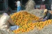 Demonetisation changes taste of oranges: Fruit gardens and orchards face losses