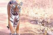 UP election: Man-eating tiger an unlikely electoral issue in Pilibhit district