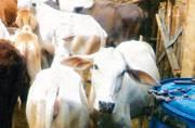 Holy cow! Shocking state of affairs in 'gau shalas' of Uttar Pradesh