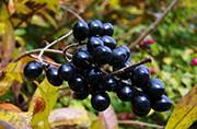 Are IIT scientists really using 'Jamuns' to create solar cells in India?