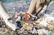 Feeding on plastic poses high risk to lives, output of stray cattle