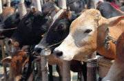 All you need to know about government's new country-wide rule for cattle slaughter