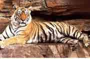 India to get new tiger hubs, rise in big cat population expected