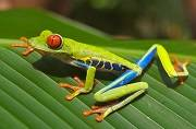 Frogs turn out to be stronger than dinosaurs: New finding from the mass extinction you