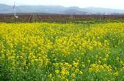 GM Mustard gets regulatory approval, activists urge government to reject it
