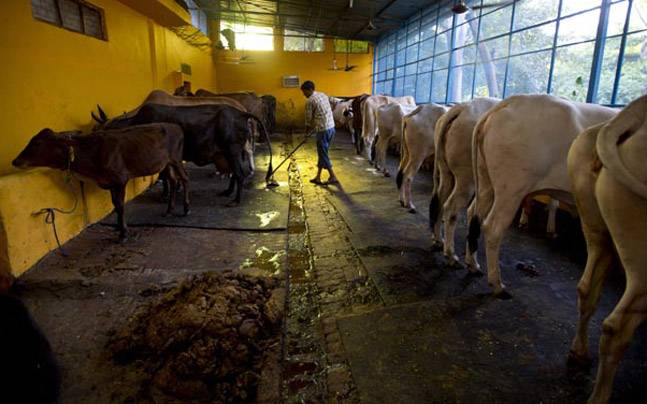 5 best cow breed for dairy business in India