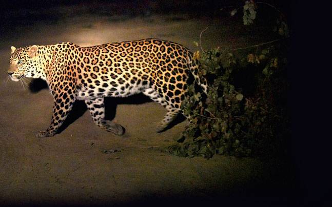 Aravalli has been claimed to be home to quite a large number of wild animals, who need protection.