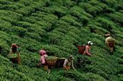 Gorkhaland agitation: Tea workers abandon estates, demand wage hike