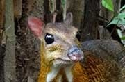 Endangered Mouse deer released in Amrabad Reserve for the first time