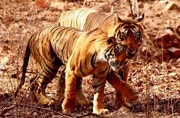 Ranthambore National Park opens for tourists after 3 months