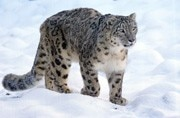 Photo proves presence of snow leopard in Arunachal Pradesh