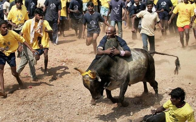 A Jallikattu Premier League will begin in Chennai on January 7 (File photo for representation: PTI)