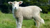 First Sheep-Human Hybrid developed in the lab: Know all about it