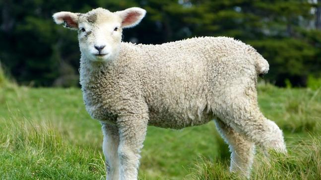 Sheep Human Hybrid