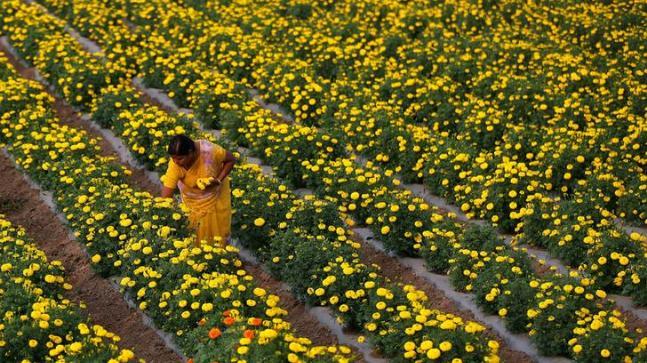 A farmer plucks marigold flowers from a field in Manchar village in Maharashtra