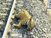 Food chucked from trains turns deathtrap for precious wildlife