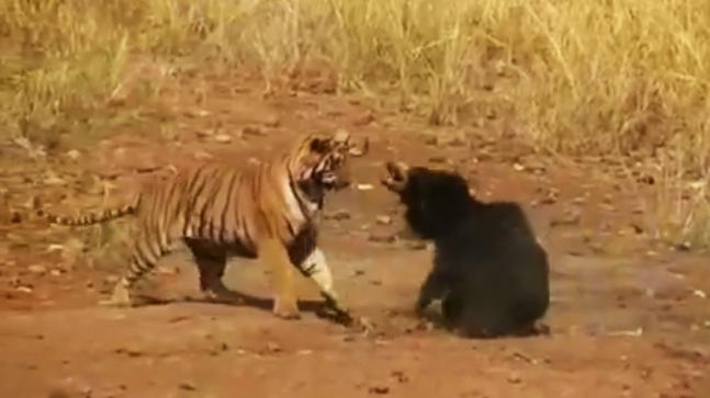 In fierce encounter female sloth bear fights tiger to protect her cub in Maharashtra forest