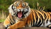 West Bengal: Injured man in hospital claims tiger attacked him