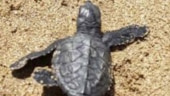 After 20 years, Mumbai's Versova beach becomes nesting ground for Olive Ridley turtles