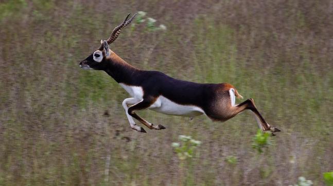 Image result for blackbuck