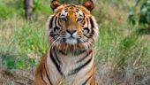 Villagers slaughter adult tiger in Pilibhit, no arrests made so far