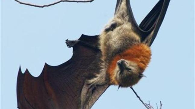 'No Nipah virus in insectivorous bats'